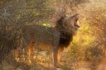 Король Калахари. Частный заповедник Deception Valley, Калахари, Ботсвана
