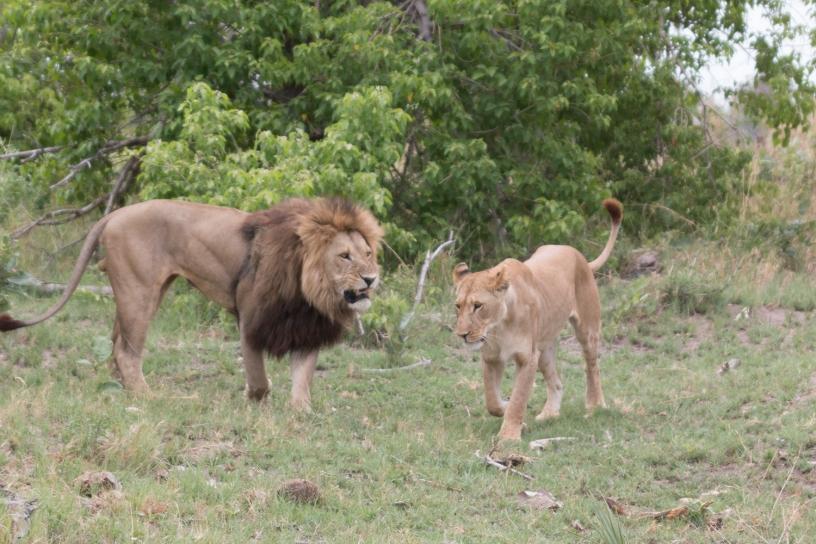 Львы. Заповедник Канана