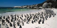 ЮАР, Саймонс Таун, пингвины на Boulders Beach