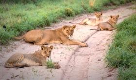 Львы Калахари