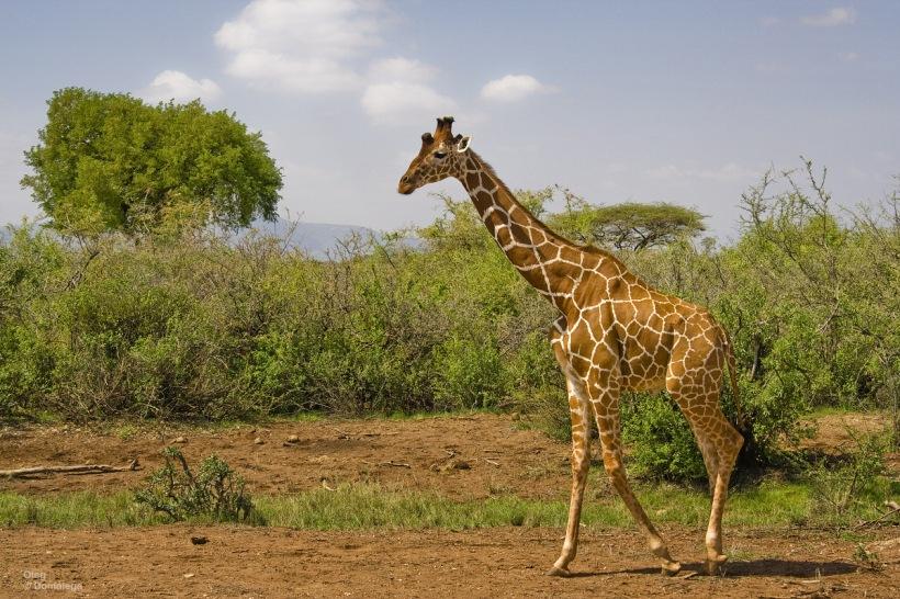 Сомалийский жираф. Самбуру