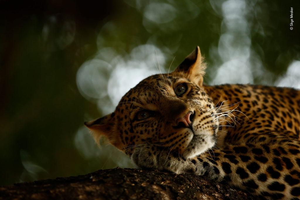 Sky Meaker. Отдыхающий леопард
