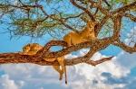 Львы в национальном парке Тарангире