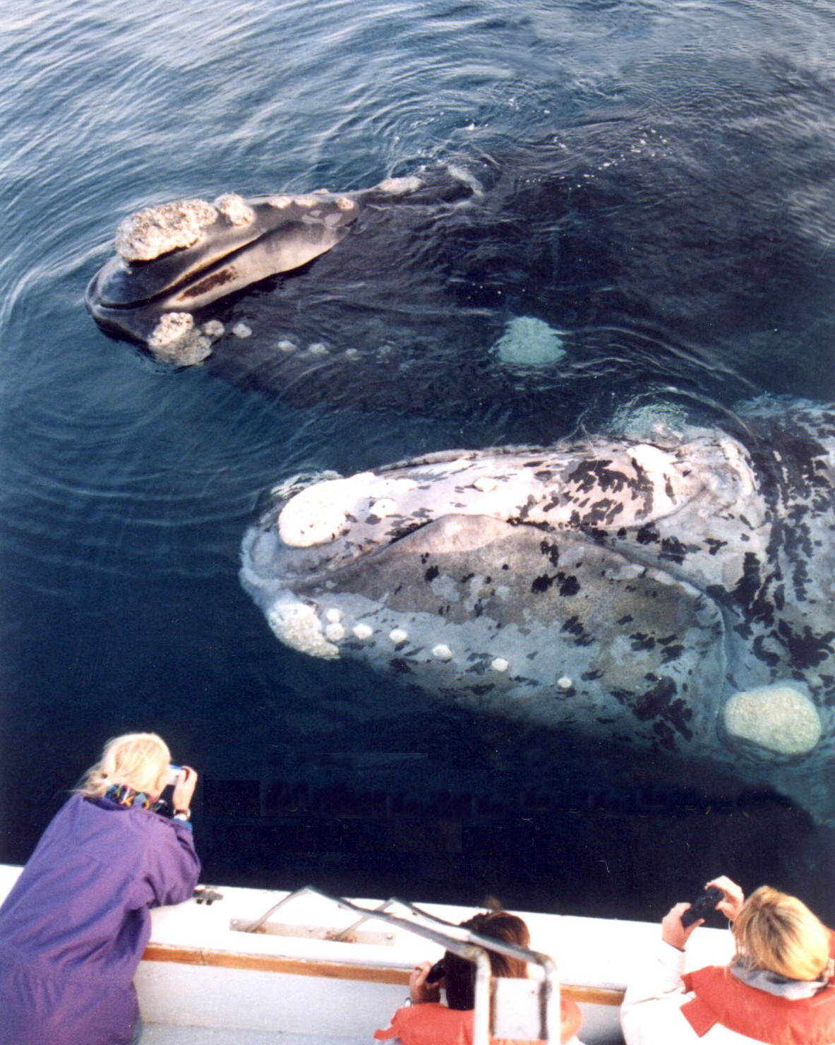 Гладкий южный кит