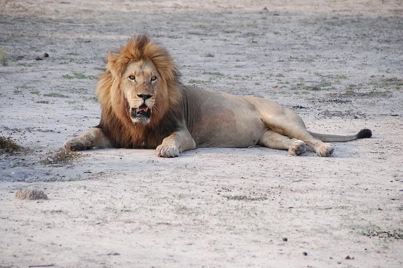 Лев в национальном парке Крюгера